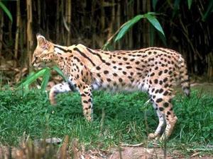 El Serval